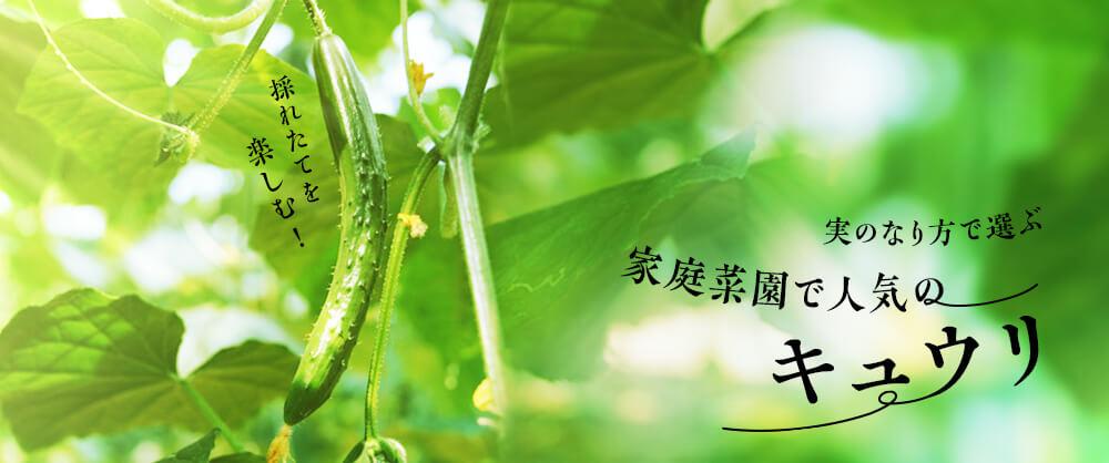 採れたてを楽しむ!実のなり方で選ぶ家庭菜園で人気のキュウリ